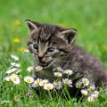 Tapping kitten in field of flowers